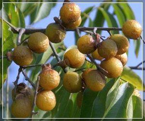 Мыльные ягоды Трифолиатус